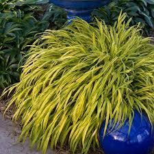 hakonechloa aureola variegated hakone shade ornamental grass