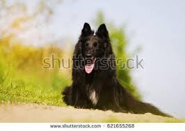 belgian sheepdog groenendael belgian shepherd groenendael stock images royalty free images