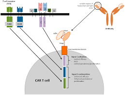 cancers free full text chimeric antigen receptor car t cell