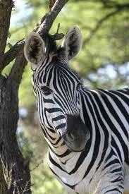 up of zebra equus quagga tree