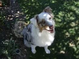 rocking m australian shepherds maggie bullock of timberline kennel the aussie board