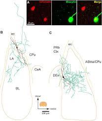 sleep and serotonin modulate paracapsular nitric oxide synthase