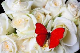 white roses for sale butterfly on white roses greeting card for sale by garry