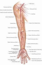 Anatomy And Physiology Human Body 25 Best Blood Vessels Ideas On Pinterest Human Body Exhibit