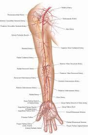 Anatomy Of The Heart Lab 25 Best Blood Vessels Ideas On Pinterest Human Body Exhibit