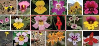 monkey flowers monkeyflowers as a model system yuan laboratory genetics