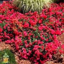 drift roses drift roses for sale the planting tree