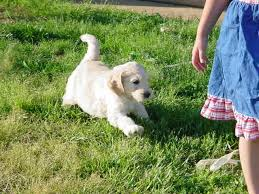 goldendoodle puppy virginia labradoodle puppy for sale goldendoodle breeder va md dc pa ny tn