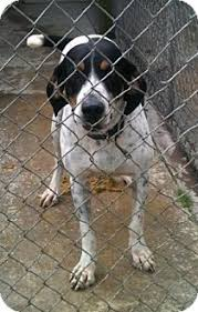 bluetick coonhound rescue illinois kirk adopted dog 5276777 schererville in treeing walker