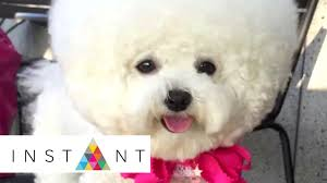 bichon frise instagram let u0027s talk tori stupid cute instant youtube