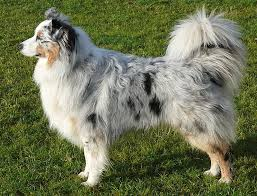 australian shepherd velcro dog australian shepherd howlingpixel