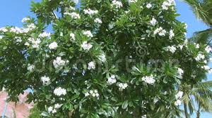 trees with white flowers beautiful big tree with white flowers swaying in the wind stock