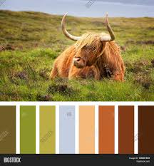 highland cow on isle skye scottish image u0026 photo bigstock