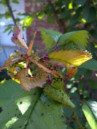 weeping cherry disease yates