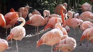 pink flamingos youtube