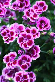 dianthus flower best 25 dianthus flower ideas on