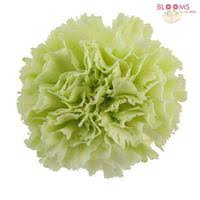 wholesale carnations carnations green fancy wholesale blooms by the box