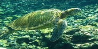 imagenes tortugas verdes tortugas verdes vuelven a florida y méxico 800noticias