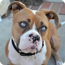 boxer dog for adoption jazzy bo bazzy adopted dog los angeles ca english bulldog