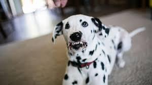 dalmatian learn smile