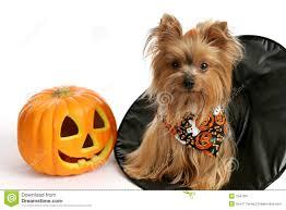 Yorkie Costumes Halloween Halloween Yorkie Witch Hat Stock Image Image 1047091