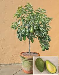 best 25 avocado plant ideas on plants indoor plants