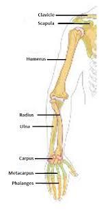 Skeletal Picture Of Foot Avian Skeletal System Extension
