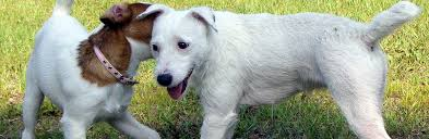 haircut ideas for long hair jack russell dogs jack russell terrier jrtca grooming your jack russell terrier