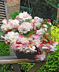 buy scented hanging begonia u0027angelique u0027 bakker com