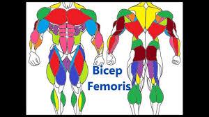 Human Anatomy Muscle Major Muscle Groups Basic Muscle Anatomy Youtube
