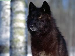 belgian shepherd oregon wolf in dog u0027s clothing black wolves may be first u0027genetically