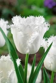 white honeymoon buy tulip honeymoon online unwins