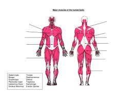 muscles worksheet by jen4000 teaching resources tes