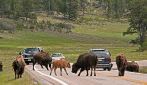 North Dakota wild animals images Wildlife loop state scenic byway south dakota places to go on jpg