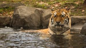 tiger chilling in water at bronx zoo imgur