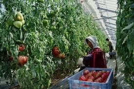 tomato fruit yield and solar radiation intensity garden u0026 greenhouse