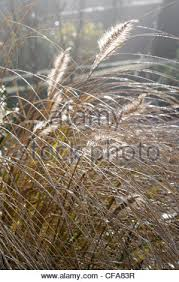 ornamental grasses backlit by the sun stock photo royalty free