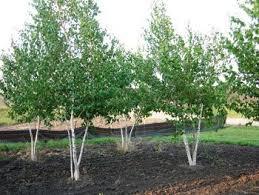bbetula pendula a fast growing silver birch with striking white