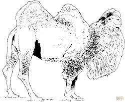 bold inspiration camel coloring pages domesticated bactrian camel