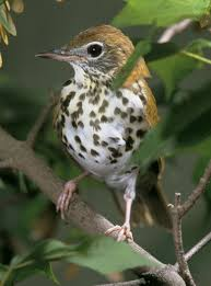 Canopy Birds by Bird Songs Of Our Cities Center For Agriculture Food And The