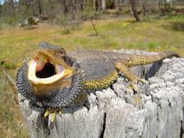 bearded dragon spiny fun pet dragon animal pictures facts