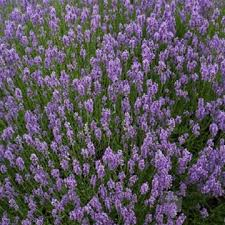 Most Fragrant Lavender Plant - lavender plants for sale buy online the growers exchange