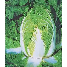 cabbage china china express f1 hybrid cabbage seeds ne seed