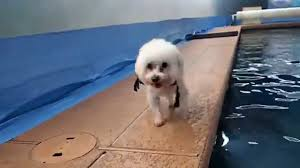 bichon frise breeders texas bichon frise gabby plays beside the swimming pool youtube