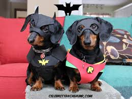 Halloween Costumes Miniature Dachshunds Crusoe Celebrity Dachshund Brother Oakley Catch