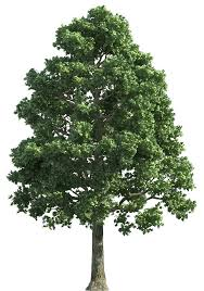green realistic tree png clip best web clipart