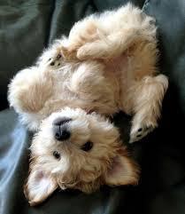 goldendoodle puppy treats los 33 animales más esponjosos planeta norwich terrier