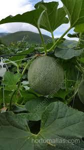 melon trellis netting hortomallas supporting your crop