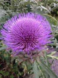 ornamental thistle picture of capel manor gardens enfield