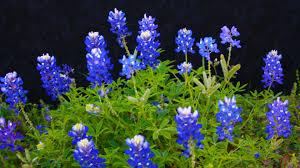 Bluebonnet Flowers - bluebonnets tag wallpapers texas water ennis bluebonnets sky